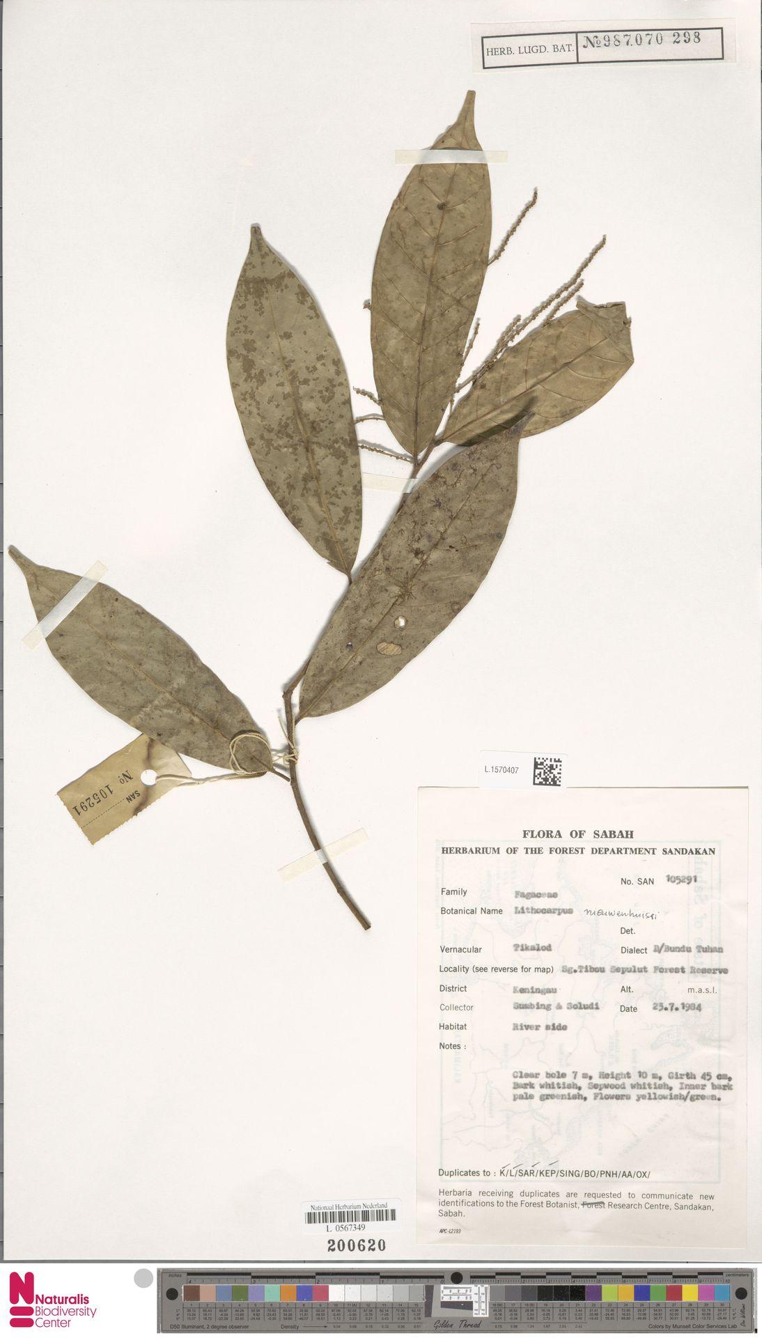 L.1570407   Lithocarpus nieuwenhuisii (Seem.) A.Camus