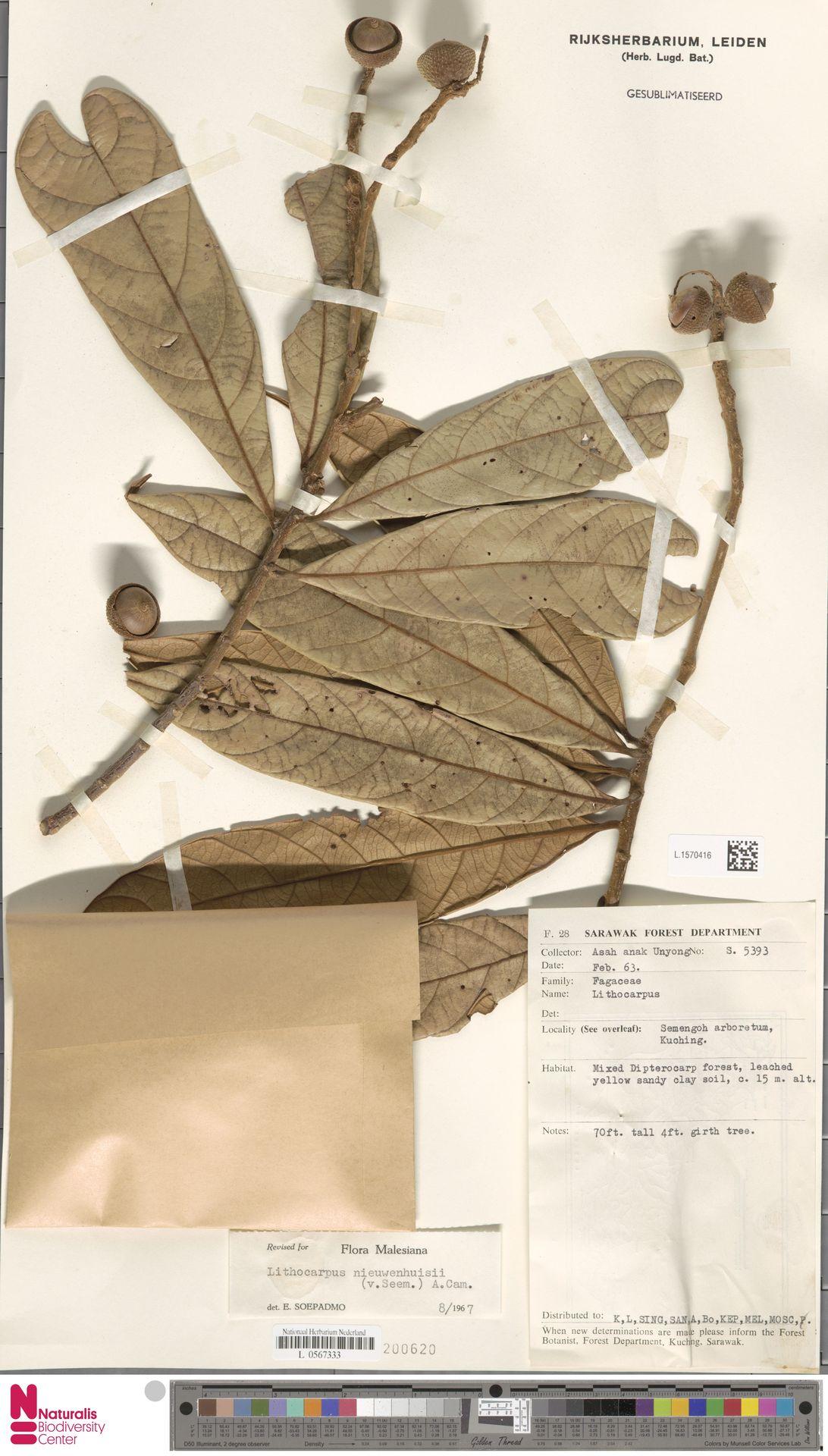 L.1570416   Lithocarpus nieuwenhuisii (Seem.) A.Camus