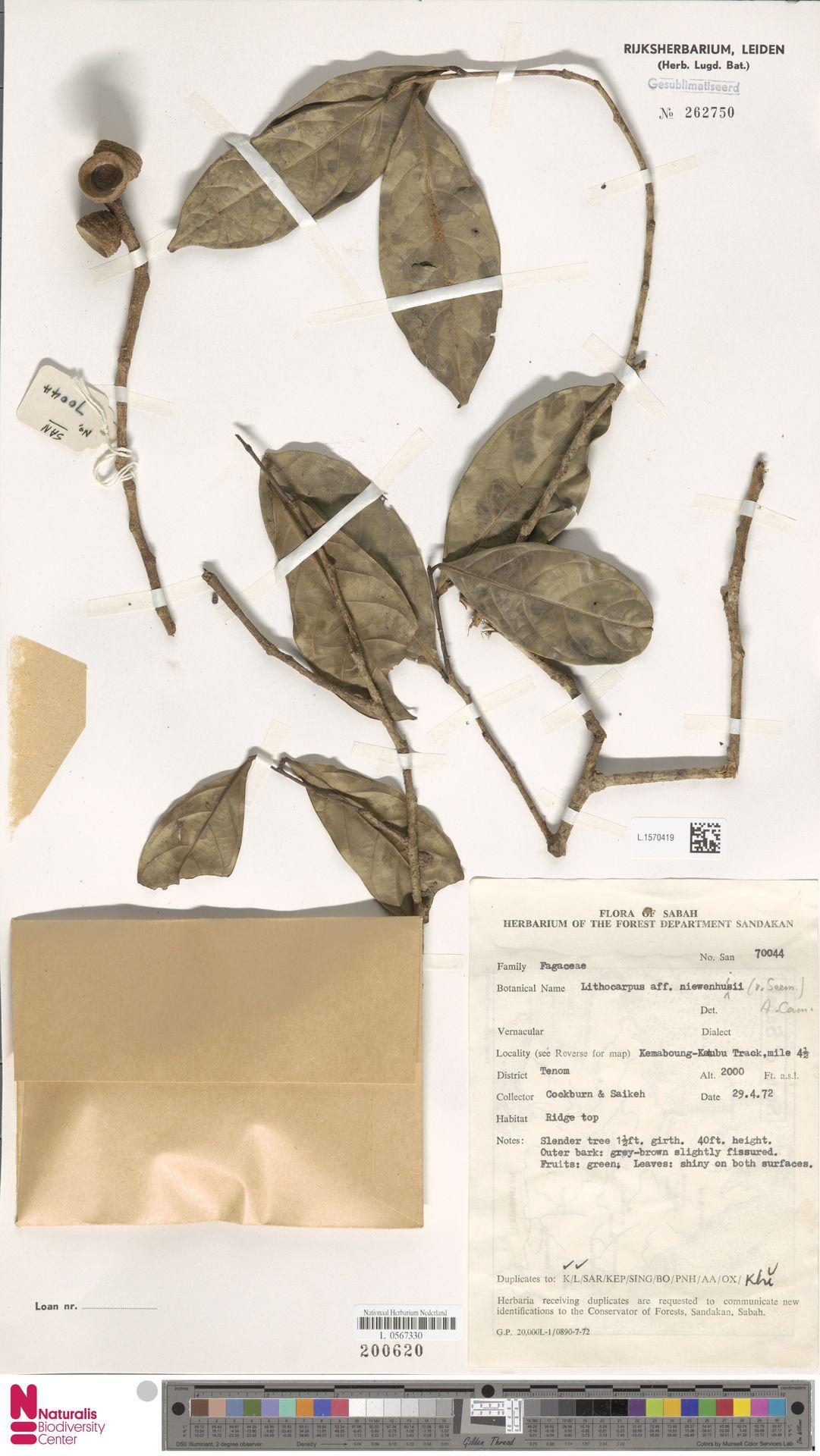L.1570419 | Lithocarpus nieuwenhuisii (Seem.) A.Camus