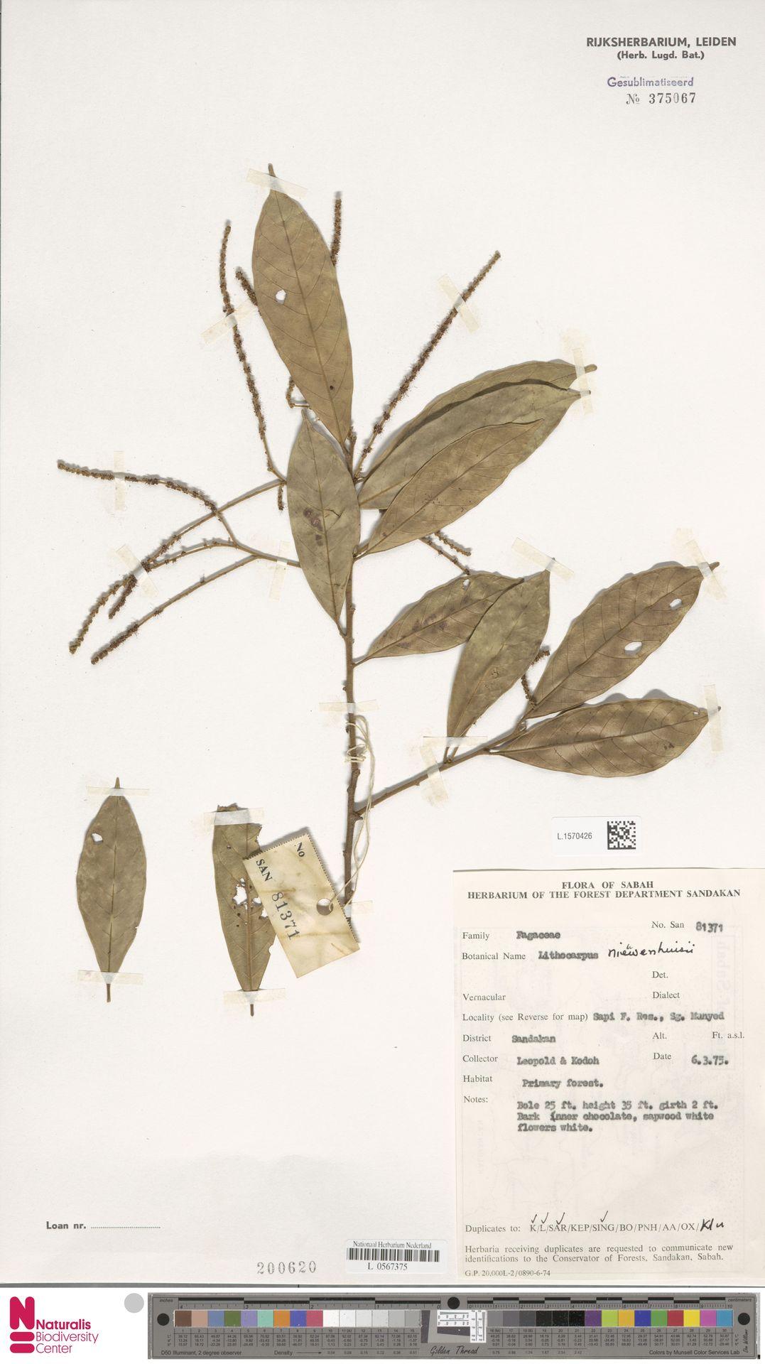 L.1570426 | Lithocarpus nieuwenhuisii (Seem.) A.Camus