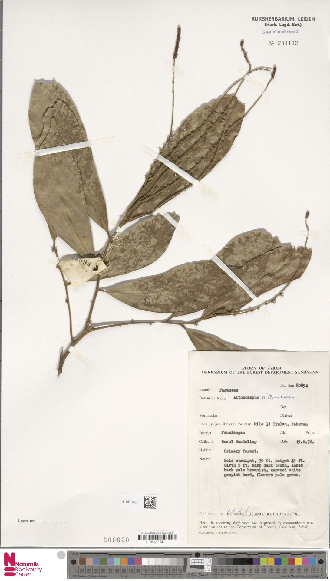 L.1570427 | Lithocarpus nieuwenhuisii (Seem.) A.Camus