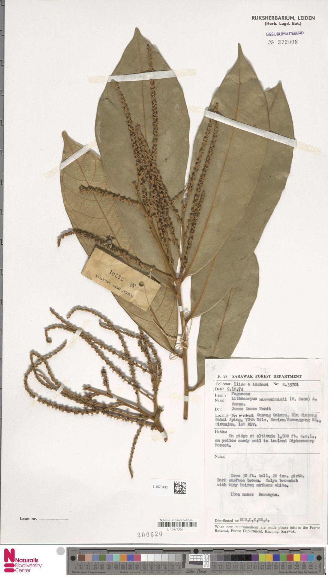L.1570433   Lithocarpus nieuwenhuisii (Seem.) A.Camus