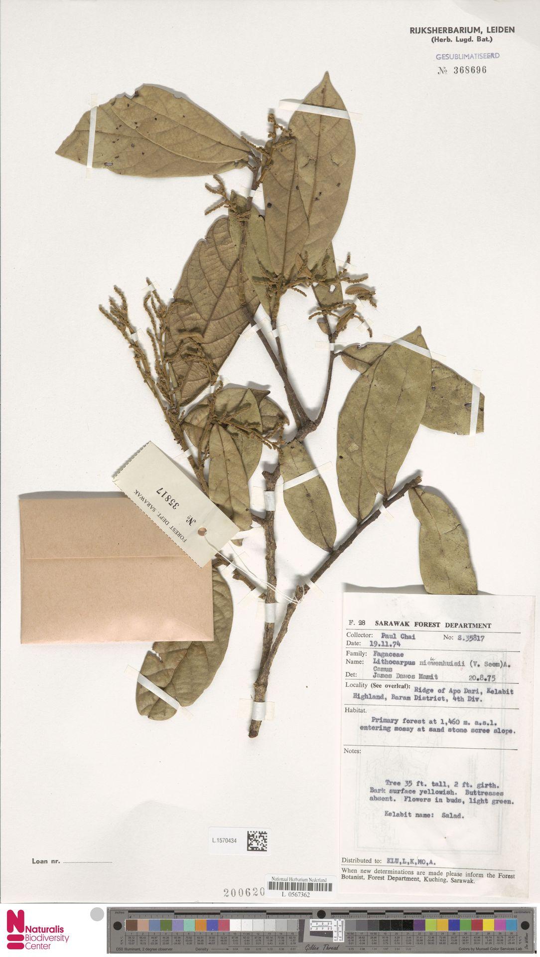 L.1570434   Lithocarpus nieuwenhuisii (Seem.) A.Camus