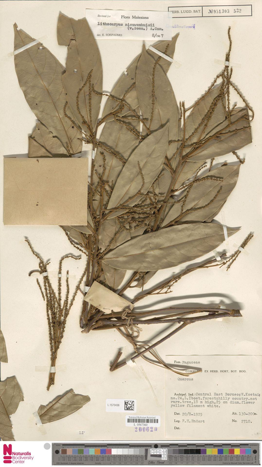 L.1570436   Lithocarpus nieuwenhuisii (Seem.) A.Camus