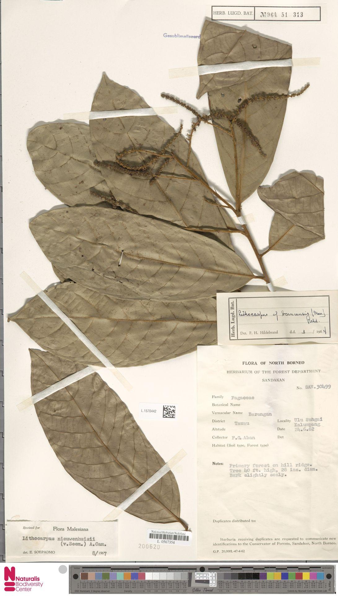L.1570442   Lithocarpus nieuwenhuisii (Seem.) A.Camus