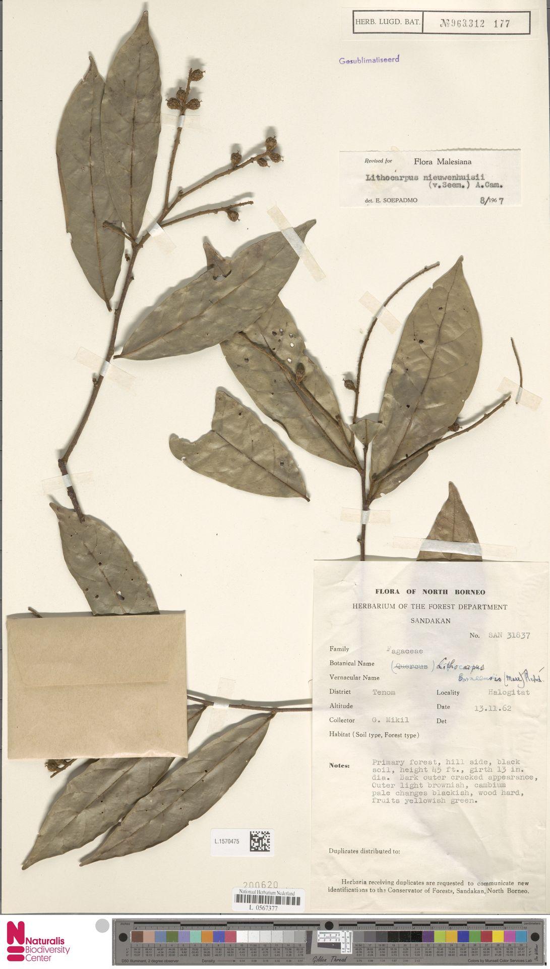 L.1570475 | Lithocarpus nieuwenhuisii (Seem.) A.Camus