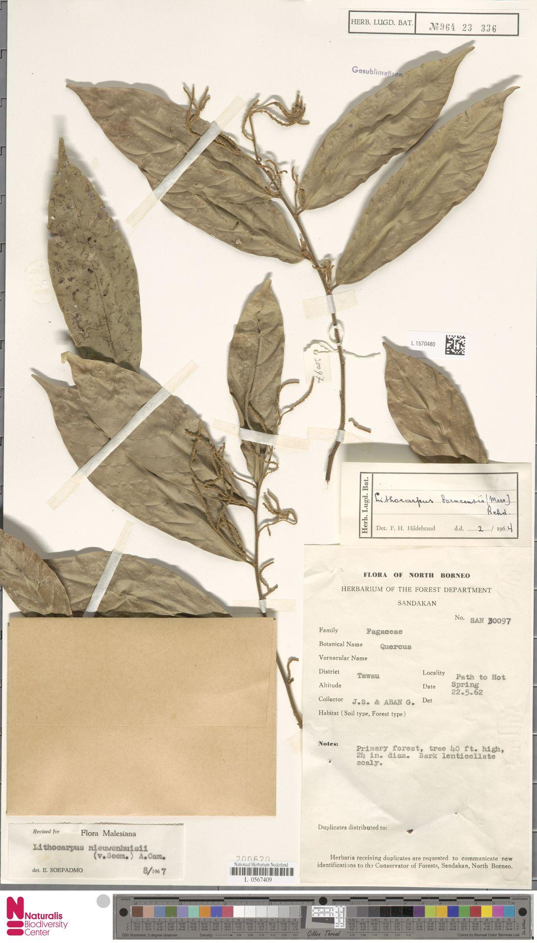 L.1570480   Lithocarpus nieuwenhuisii (Seem.) A.Camus