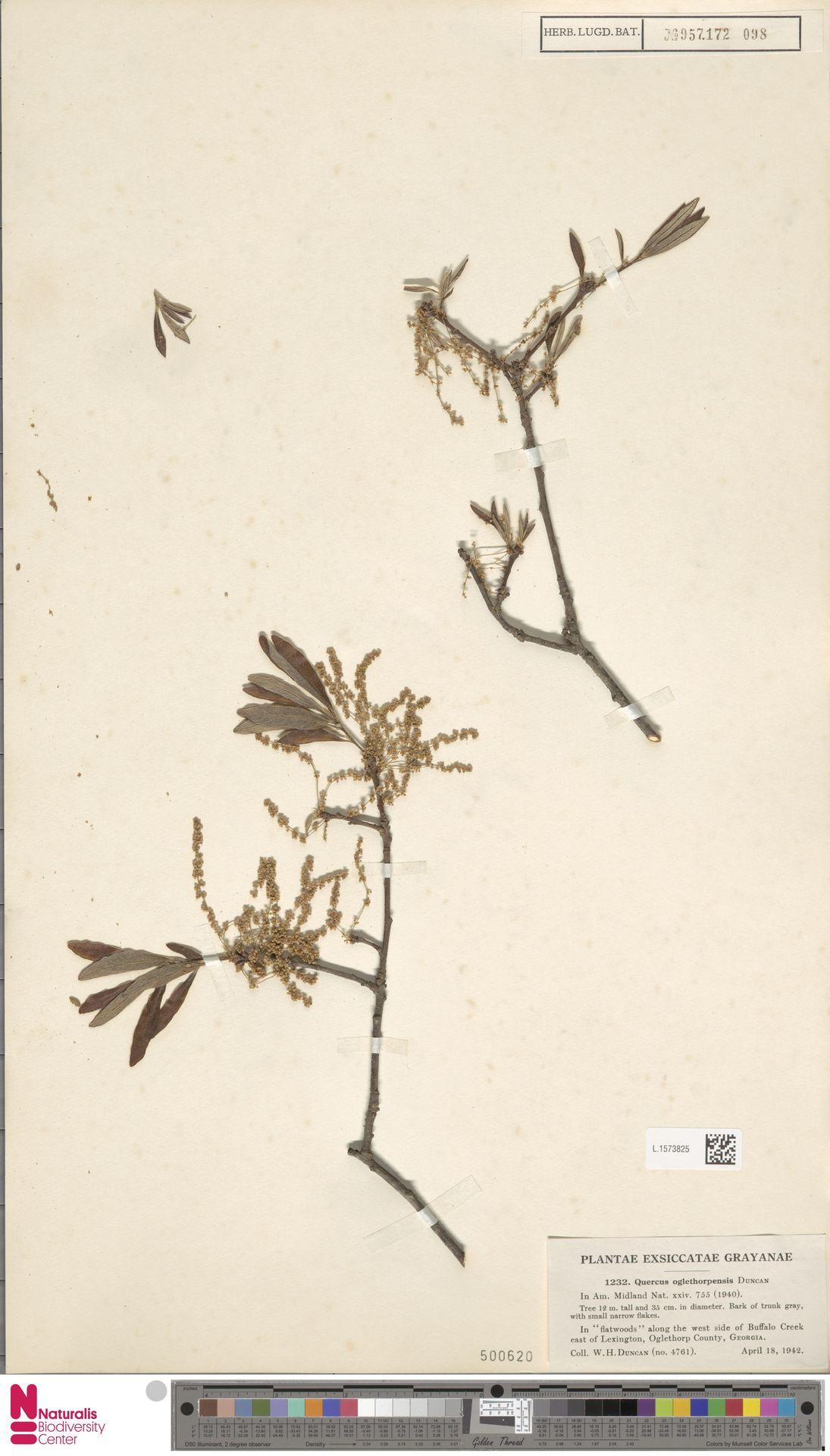 L.1573825   Quercus oglethorpensis W.H.Duncan