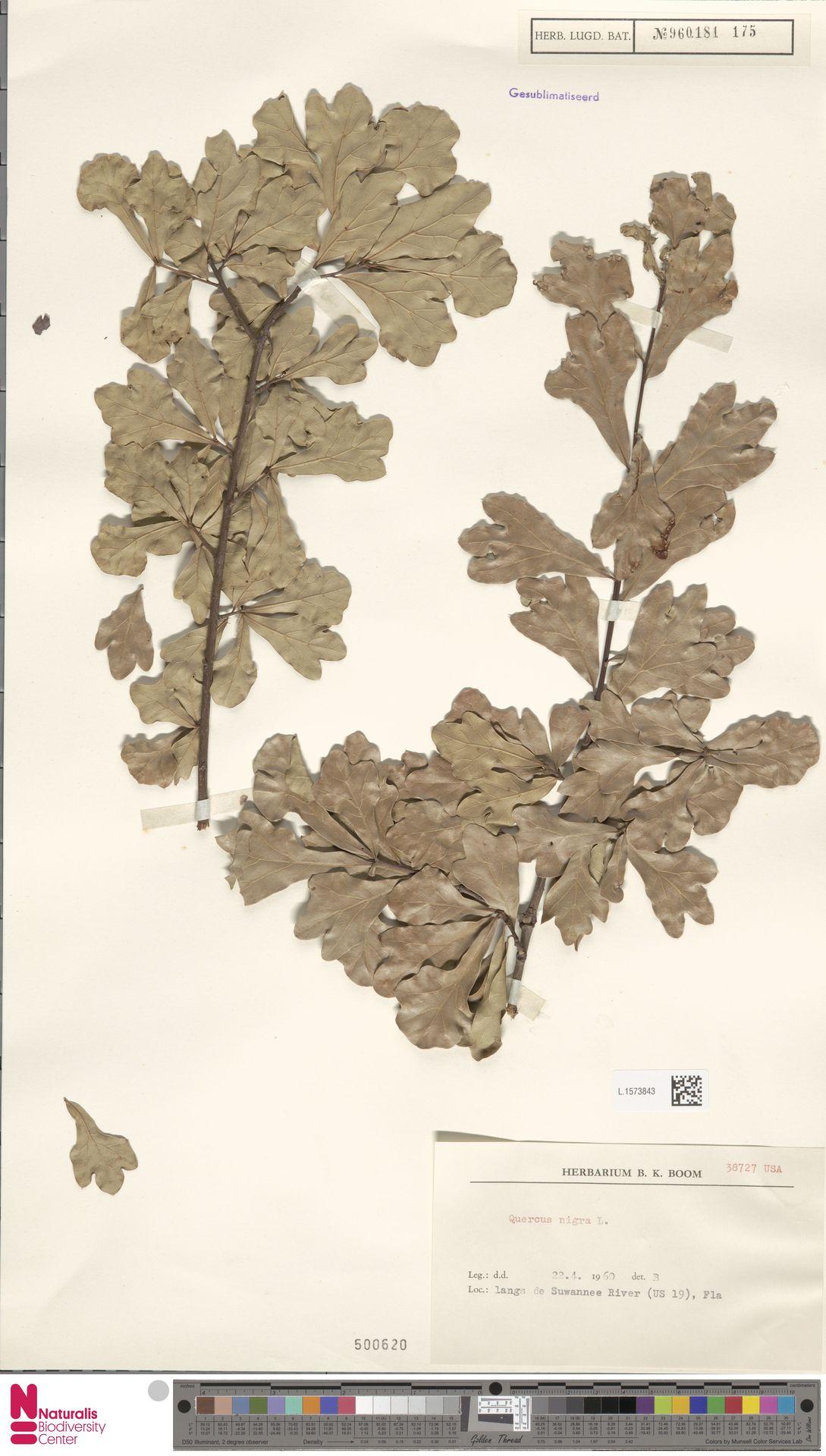 L.1573843 | Quercus nigra L.