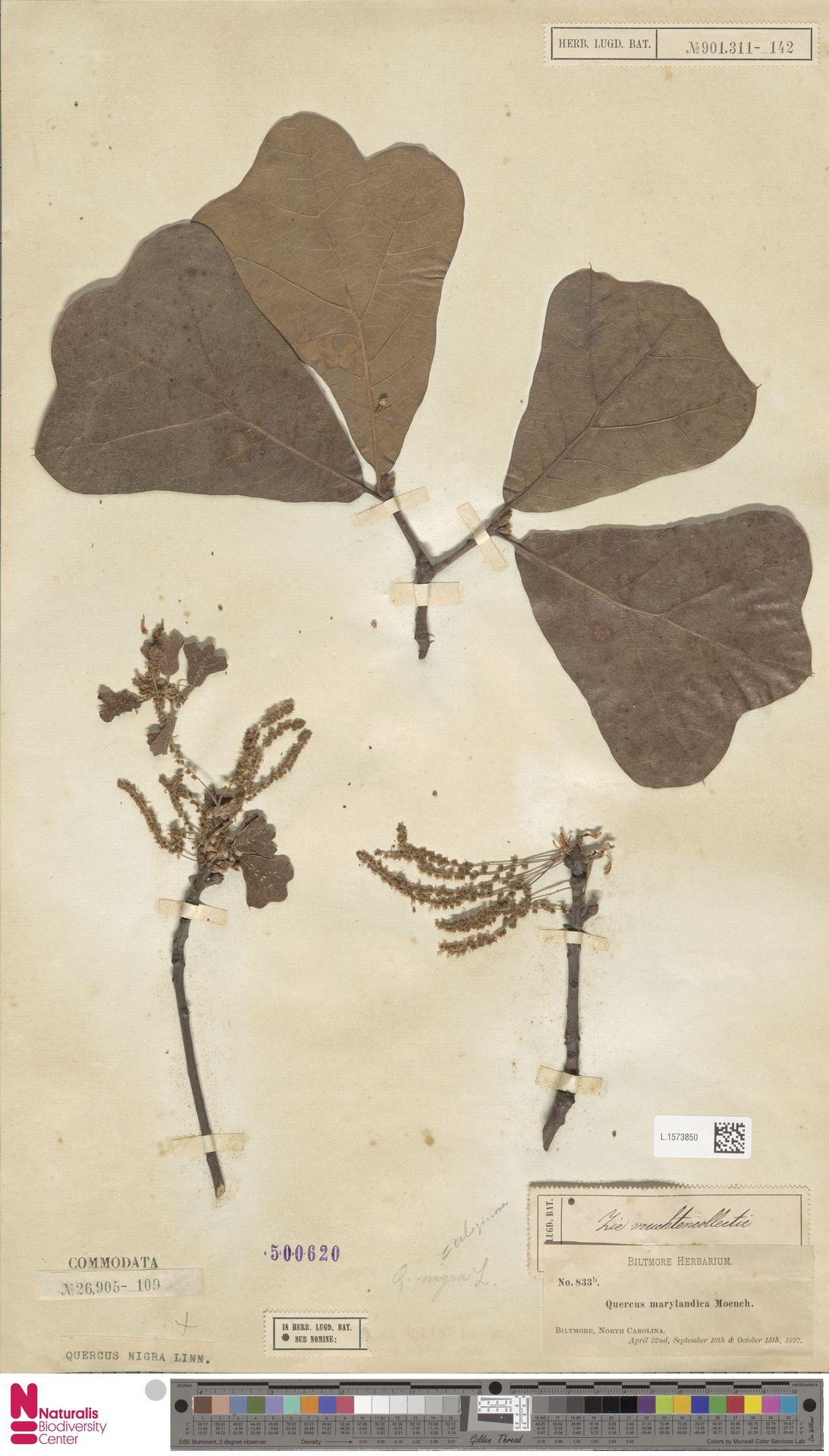 L.1573850 | Quercus nigra L.