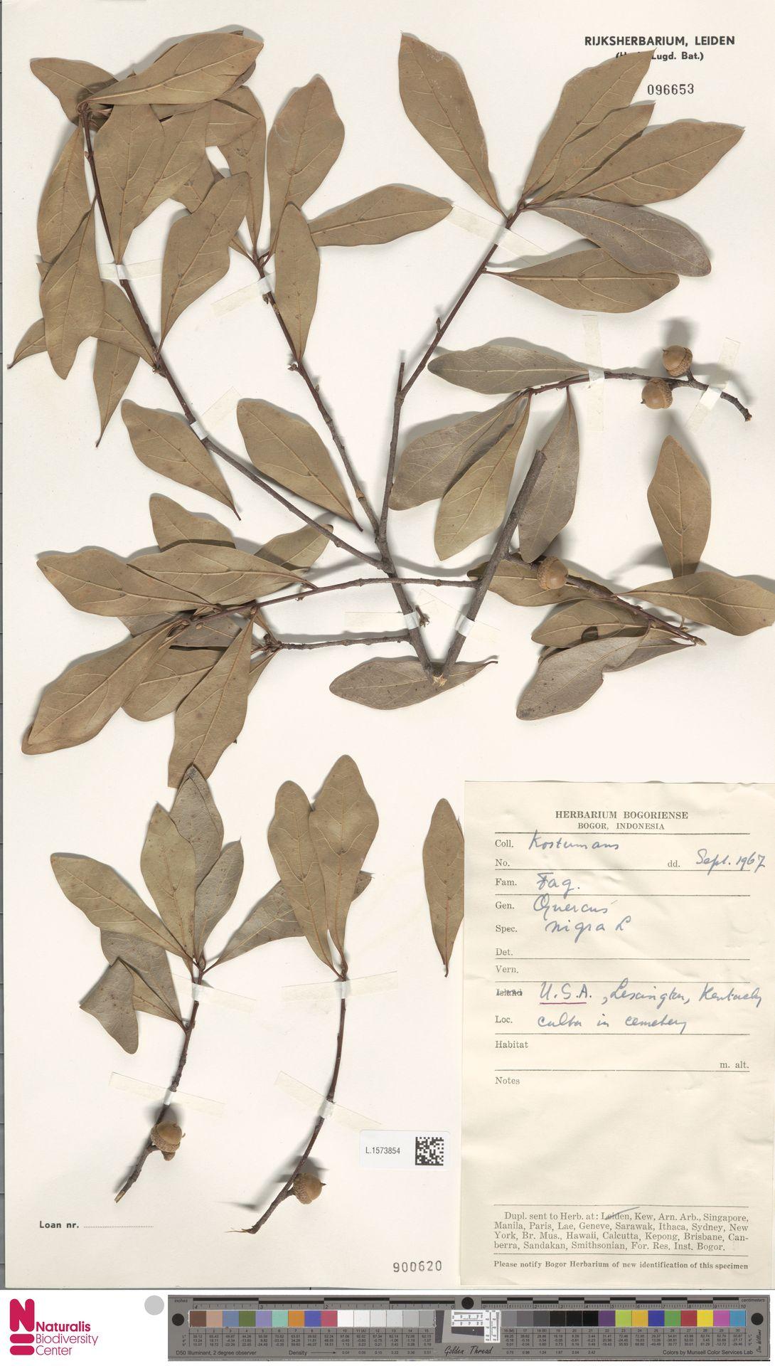 L.1573854 | Quercus nigra L.