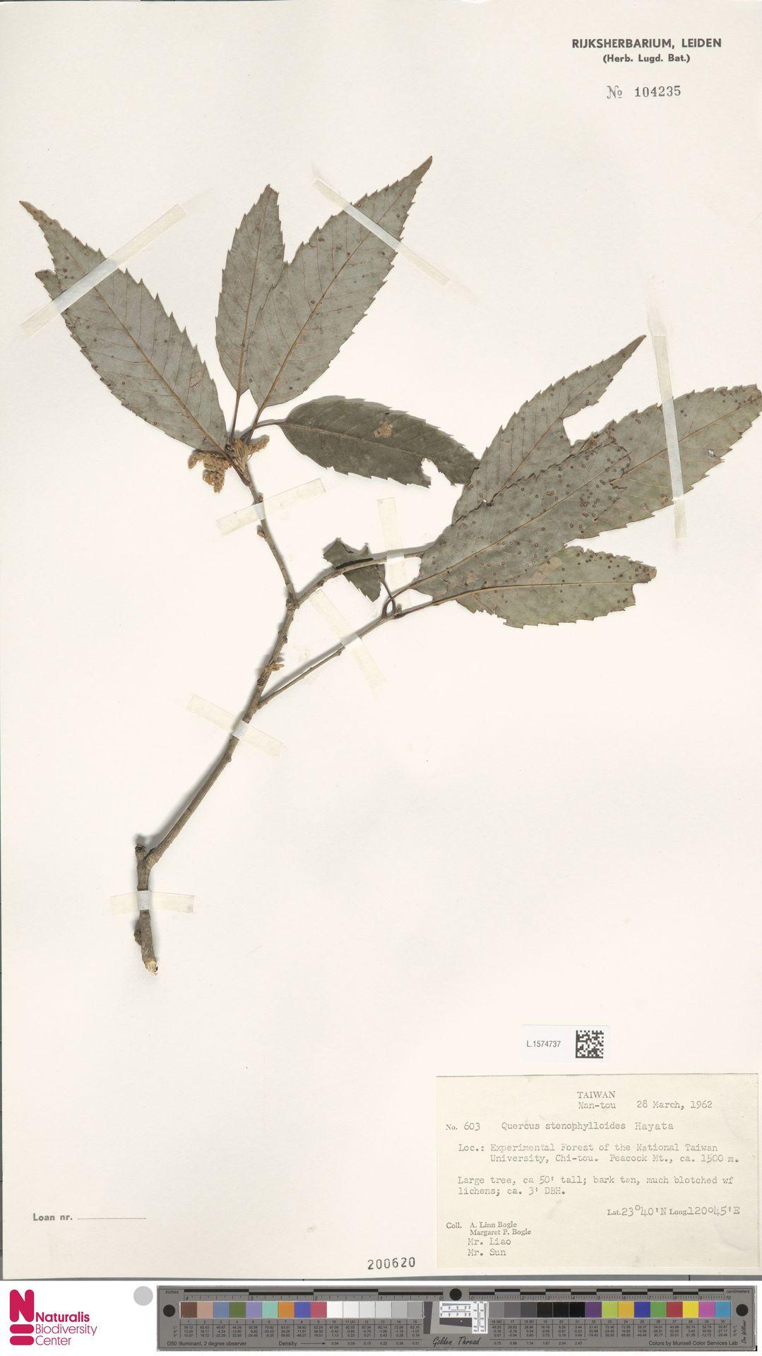 L.1574737   Quercus stenophylloides Hayata