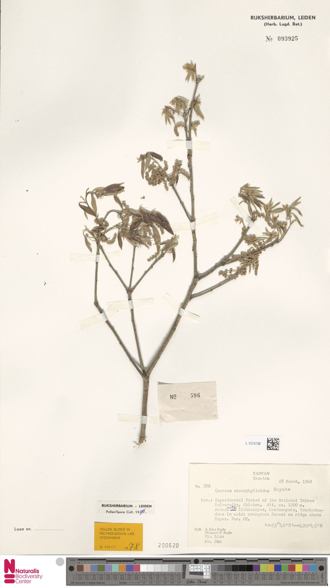 L.1574738 | Quercus stenophylloides Hayata