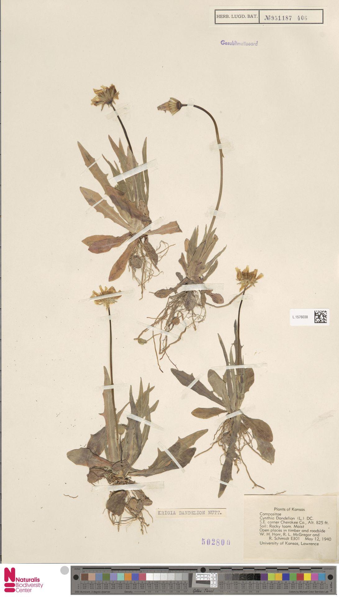 L.1576038 | Krigia dandelion (L.) Nutt.