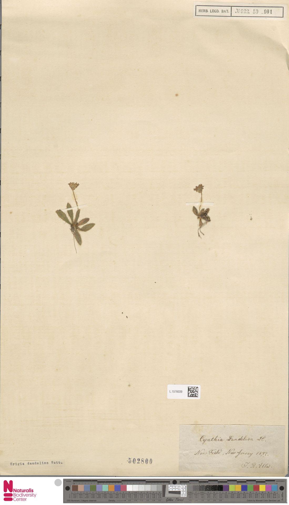 L.1576039 | Krigia dandelion (L.) Nutt.