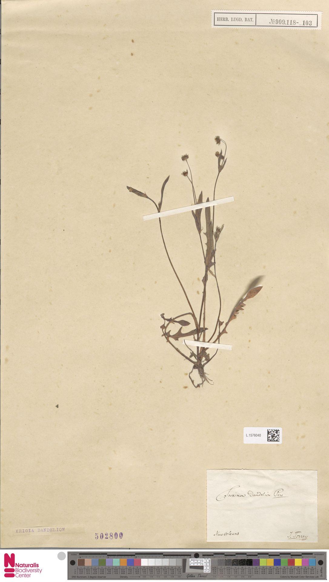 L.1576040 | Krigia dandelion (L.) Nutt.