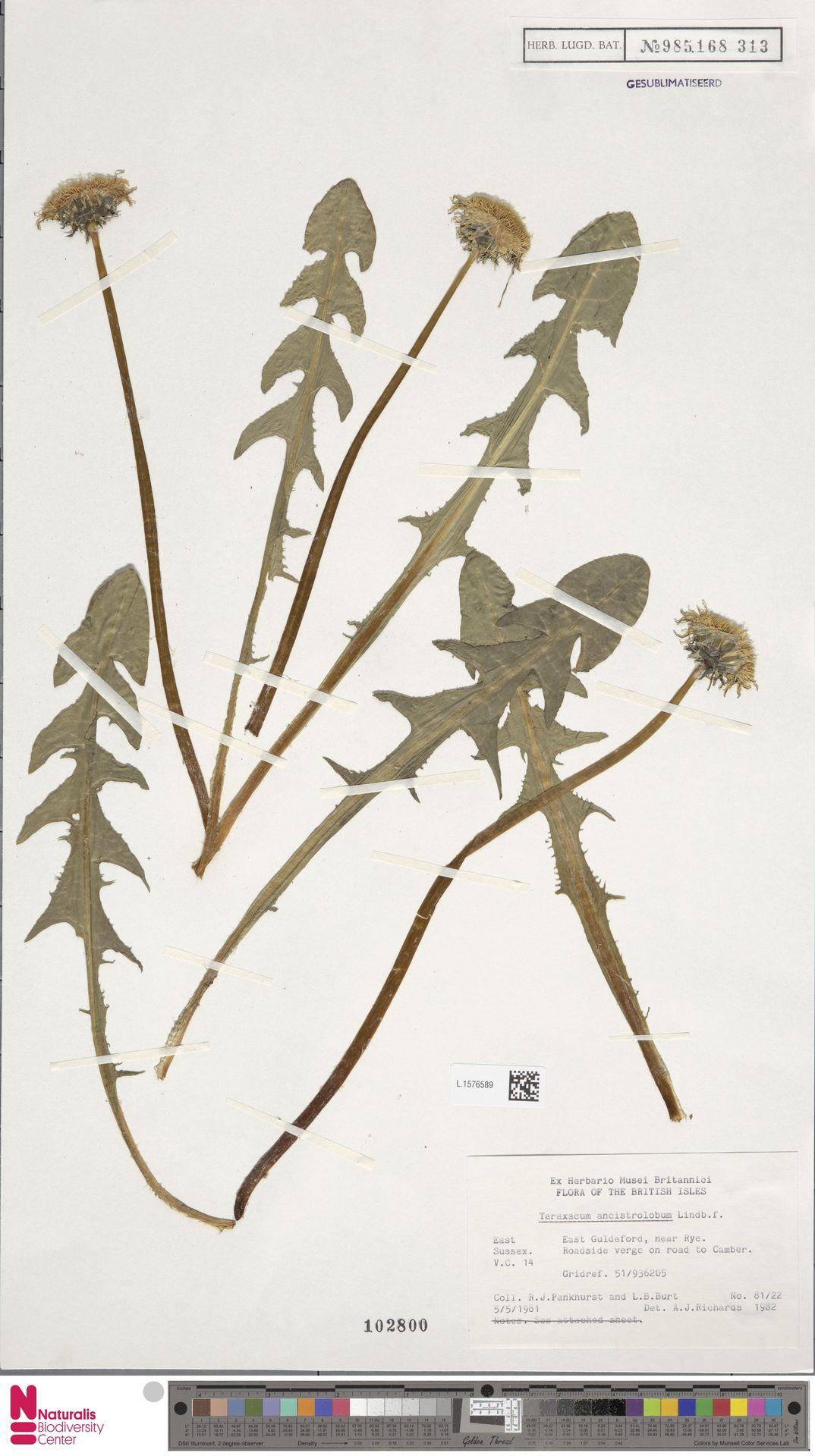L.1576589 | Taraxacum ancistrolobum Dahlst.