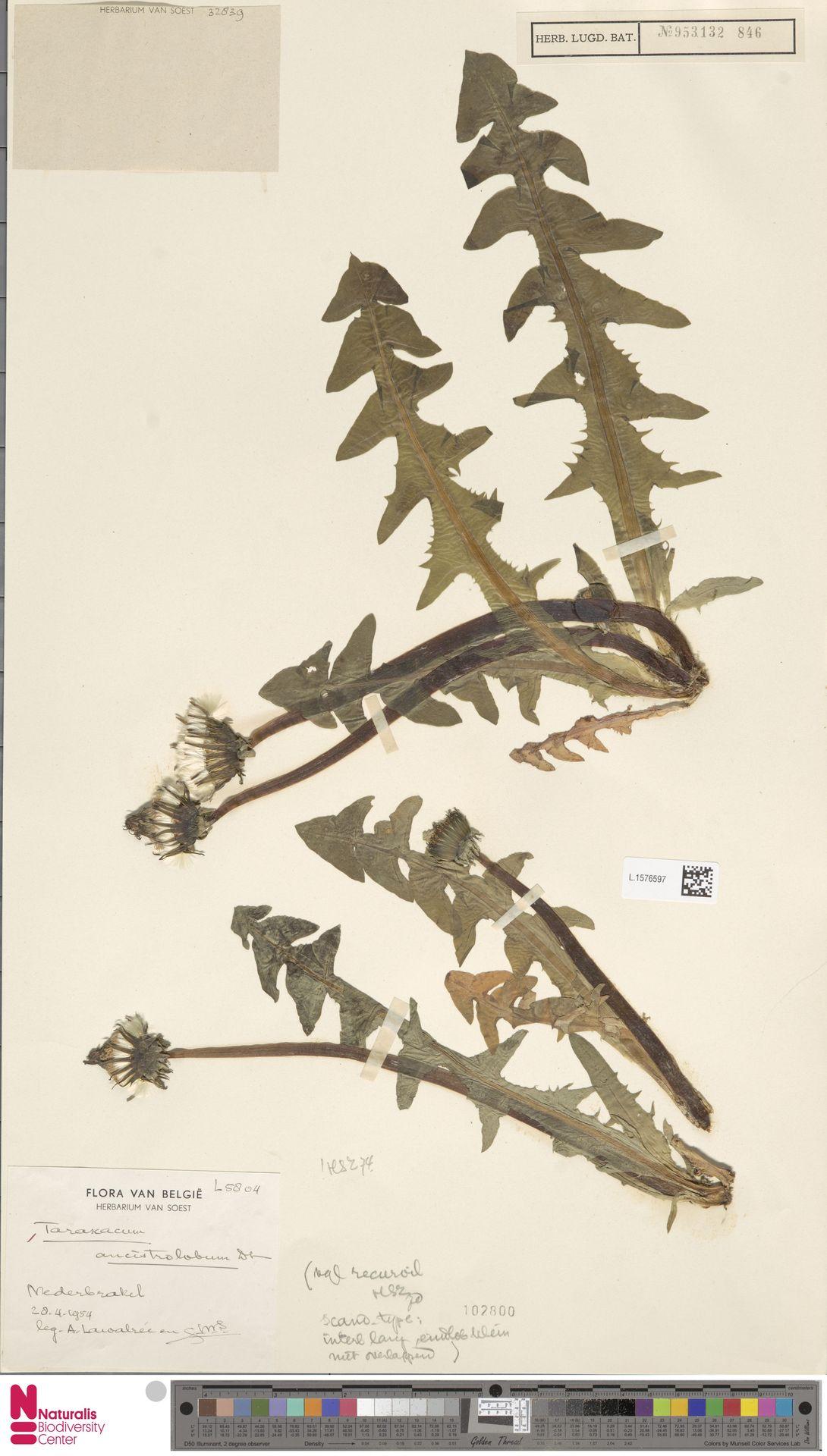 L.1576597   Taraxacum ancistrolobum Dahlst.