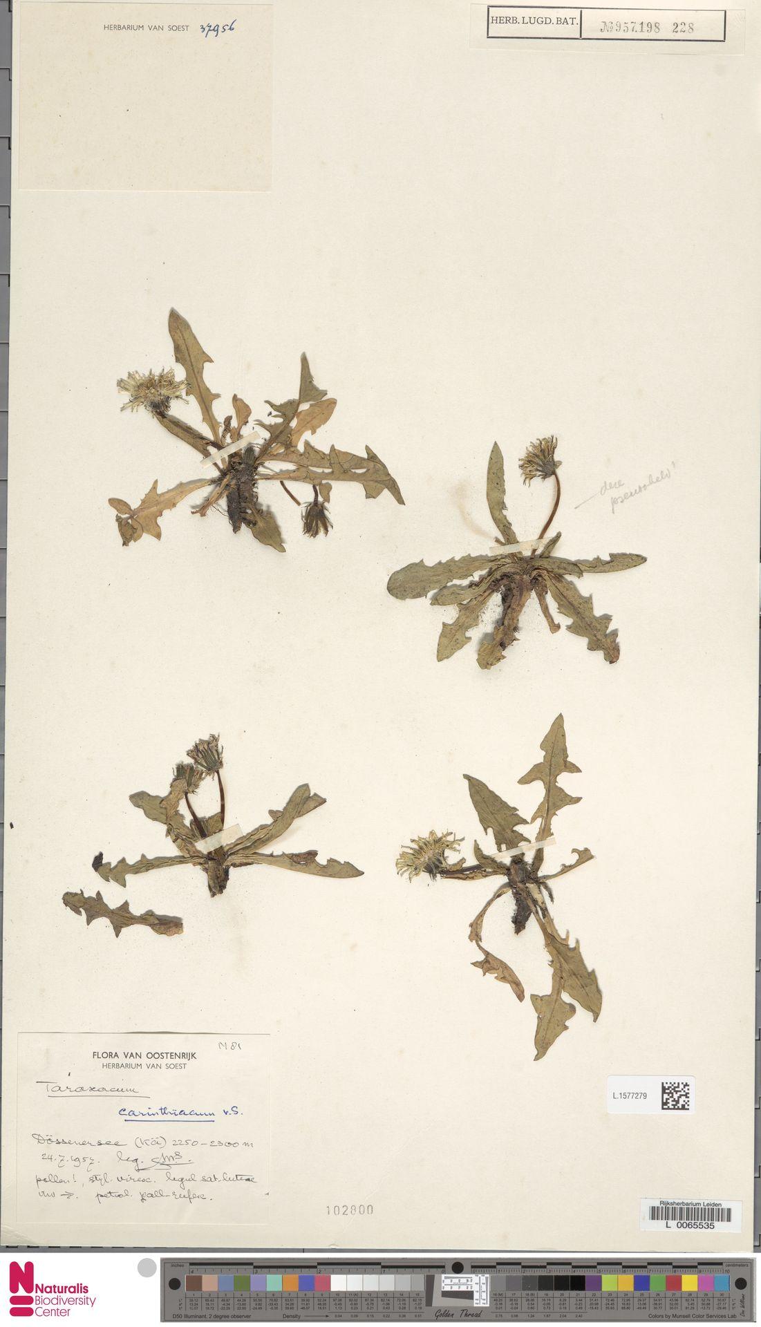 L.1577279 | Taraxacum carinthiacum Soest