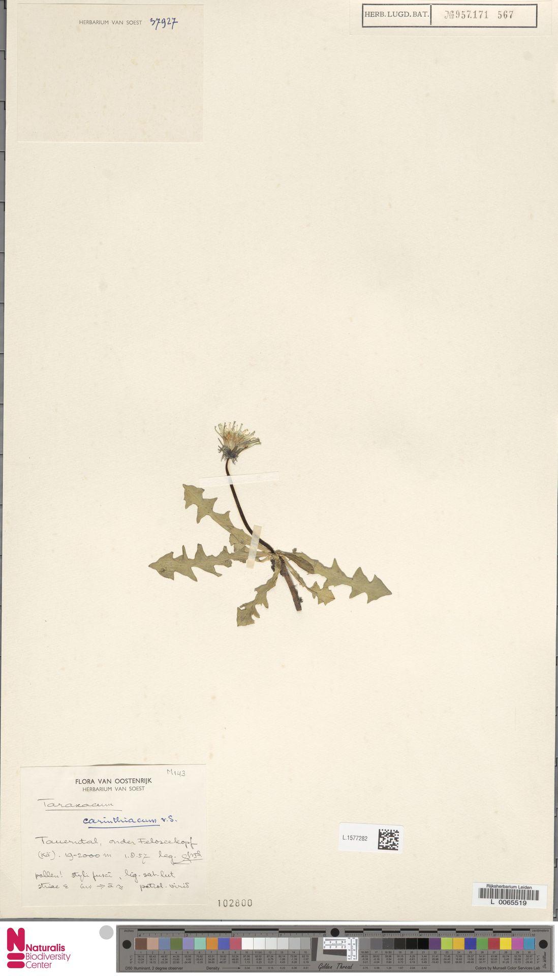 L.1577282 | Taraxacum carinthiacum Soest