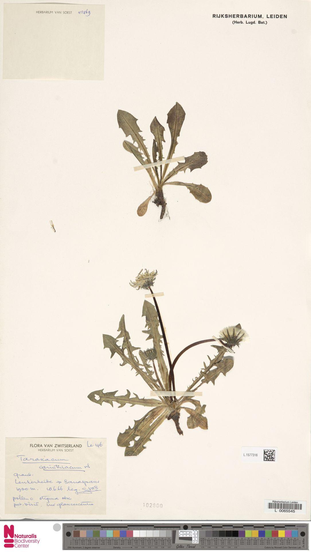 L.1577316 | Taraxacum carinthiacum Soest