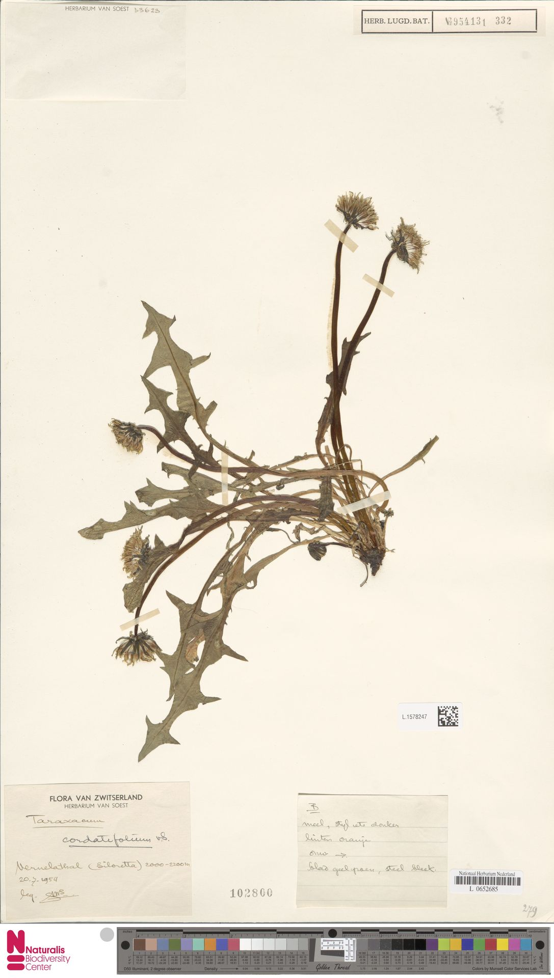 L.1578247 | Taraxacum cordatifolium Soest