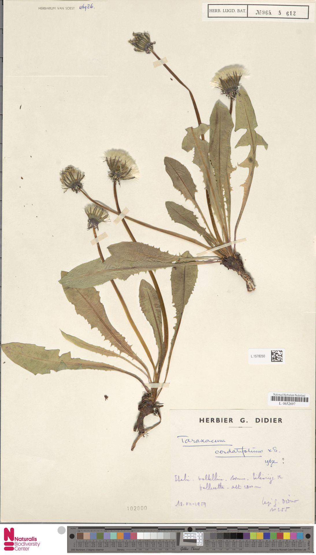 L.1578250   Taraxacum cordatifolium Soest