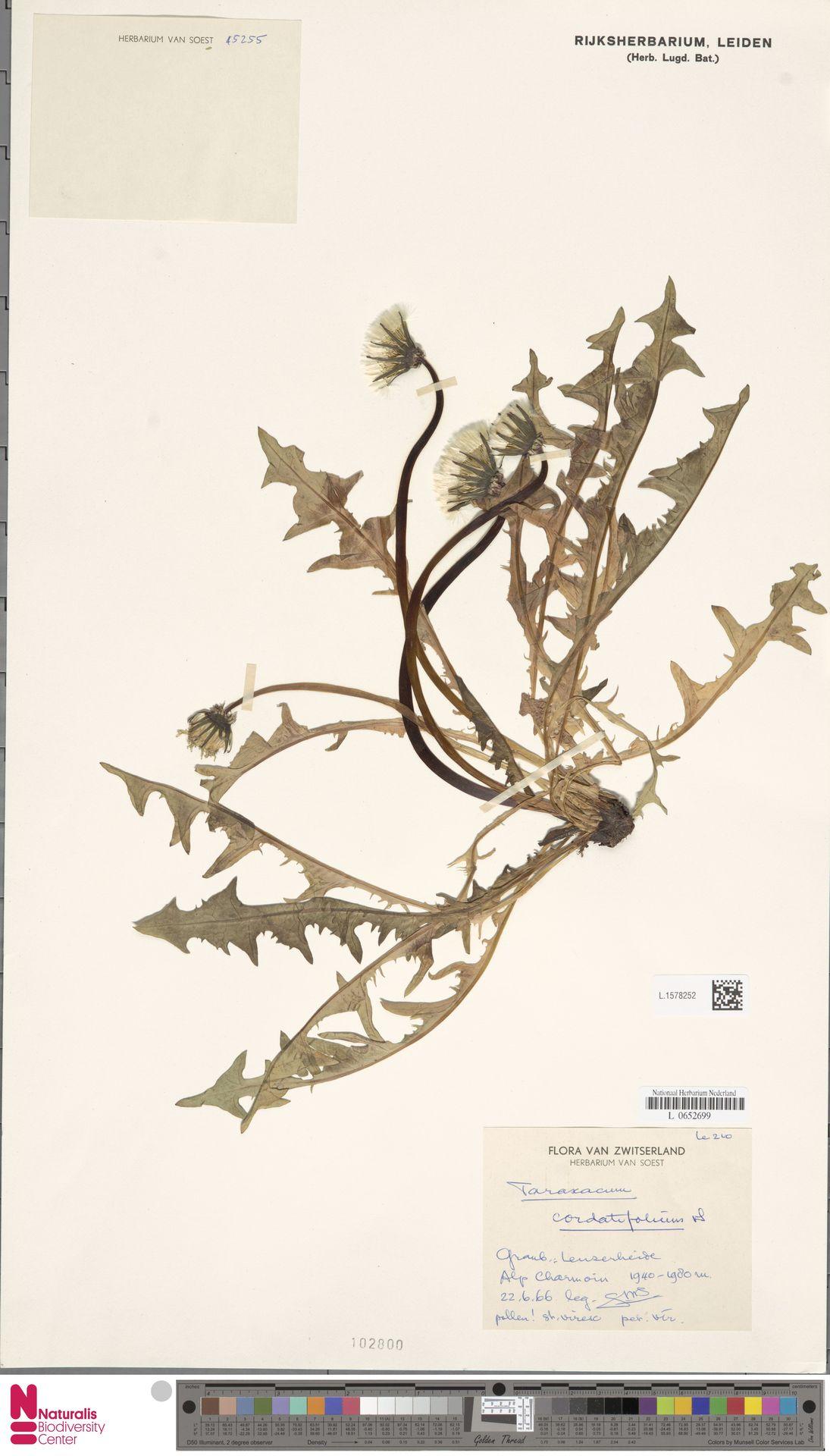 L.1578252 | Taraxacum cordatifolium Soest