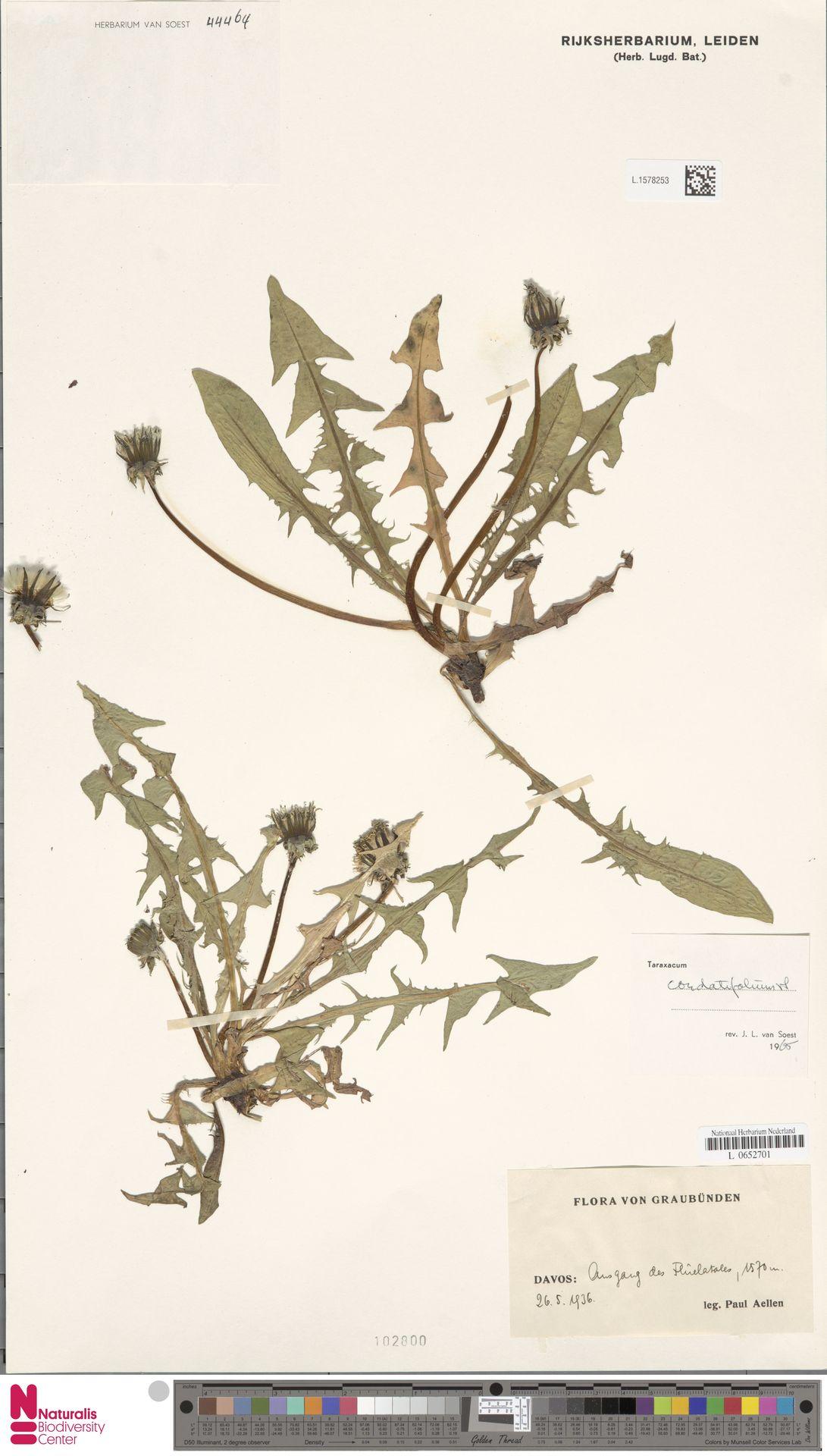 L.1578253 | Taraxacum cordatifolium Soest