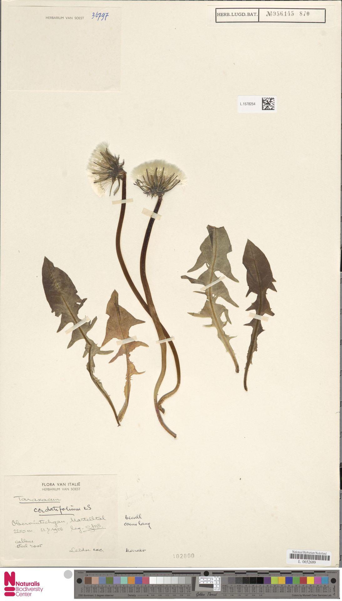 L.1578254   Taraxacum cordatifolium Soest