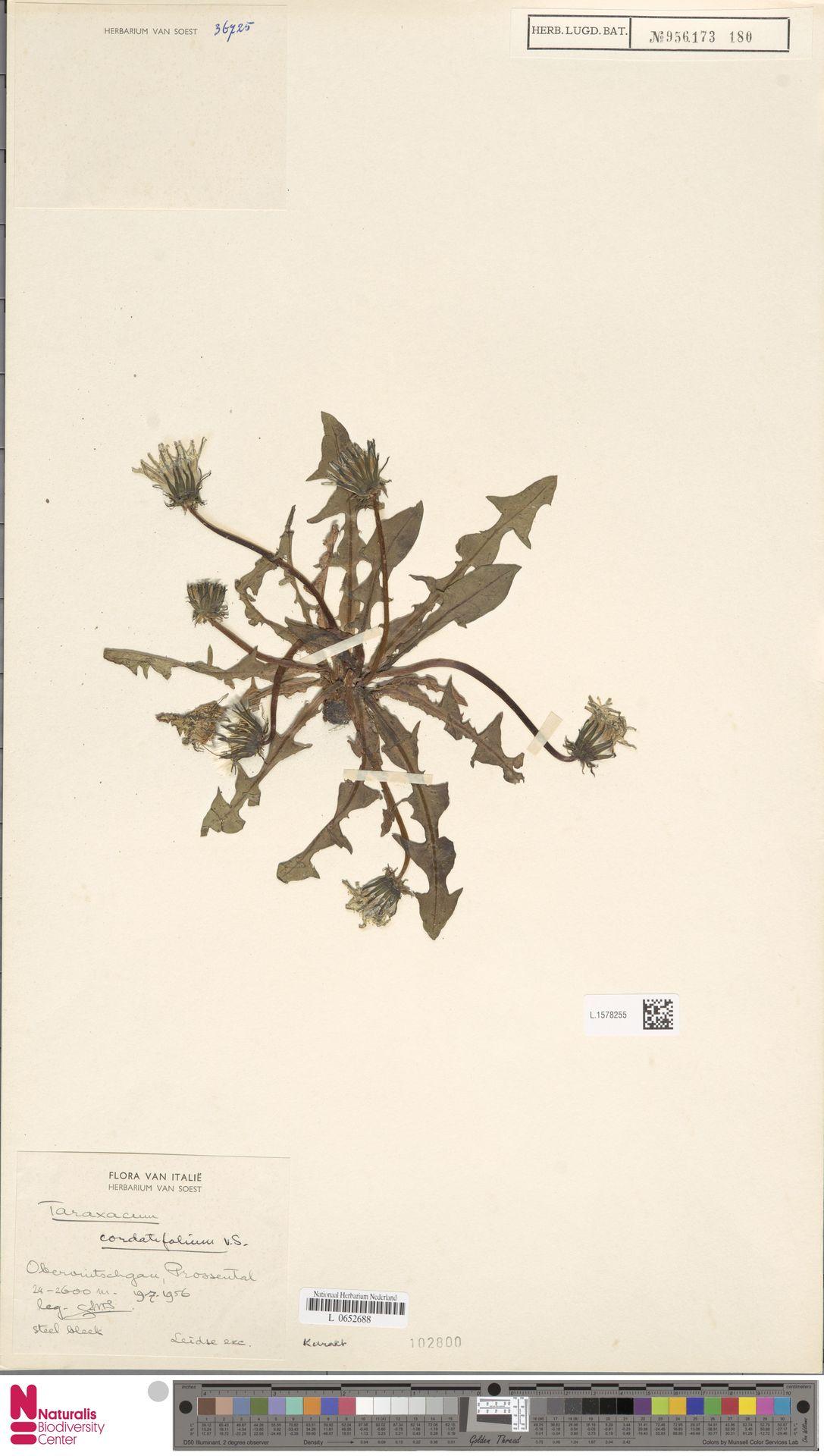 L.1578255 | Taraxacum cordatifolium Soest