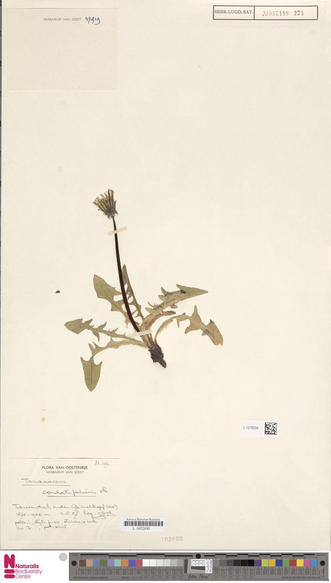 L.1578256 | Taraxacum cordatifolium Soest