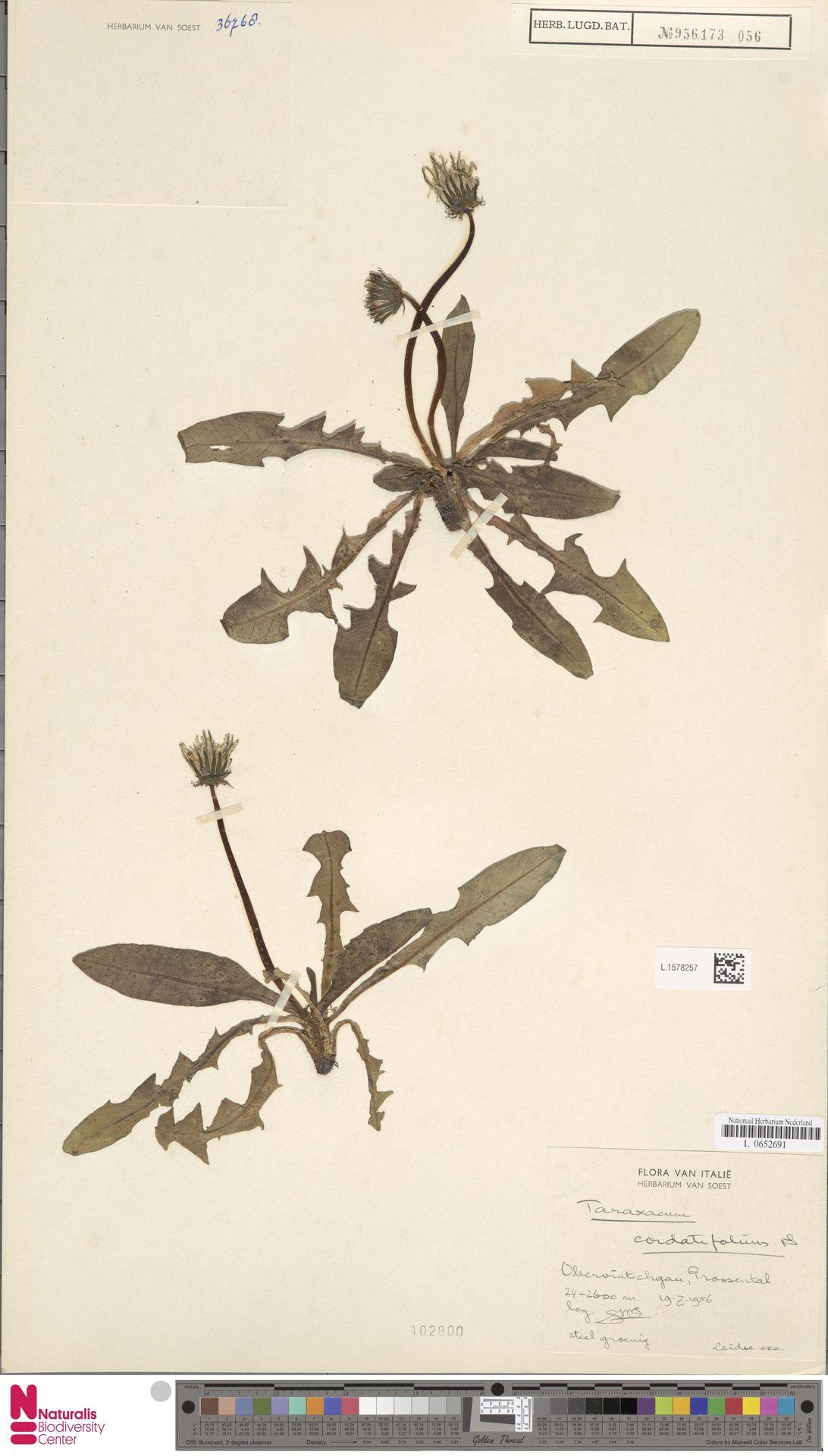 L.1578257 | Taraxacum cordatifolium Soest