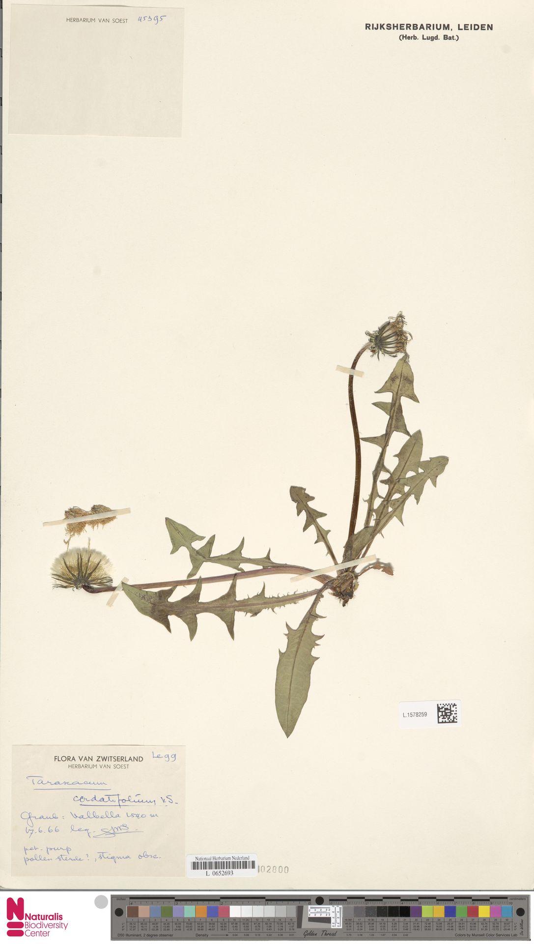 L.1578259 | Taraxacum cordatifolium Soest