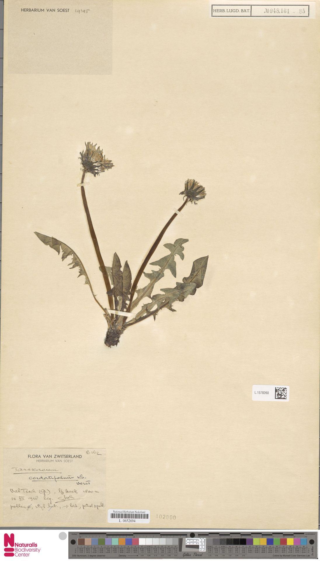 L.1578260 | Taraxacum cordatifolium Soest
