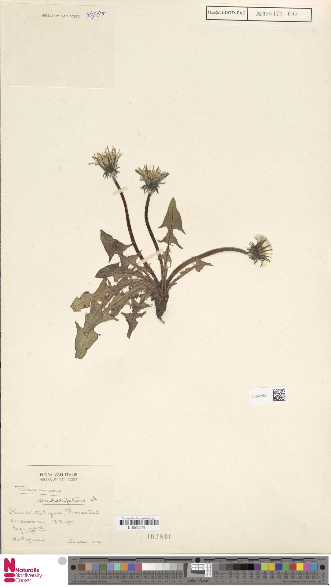 L.1578261 | Taraxacum cordatifolium Soest