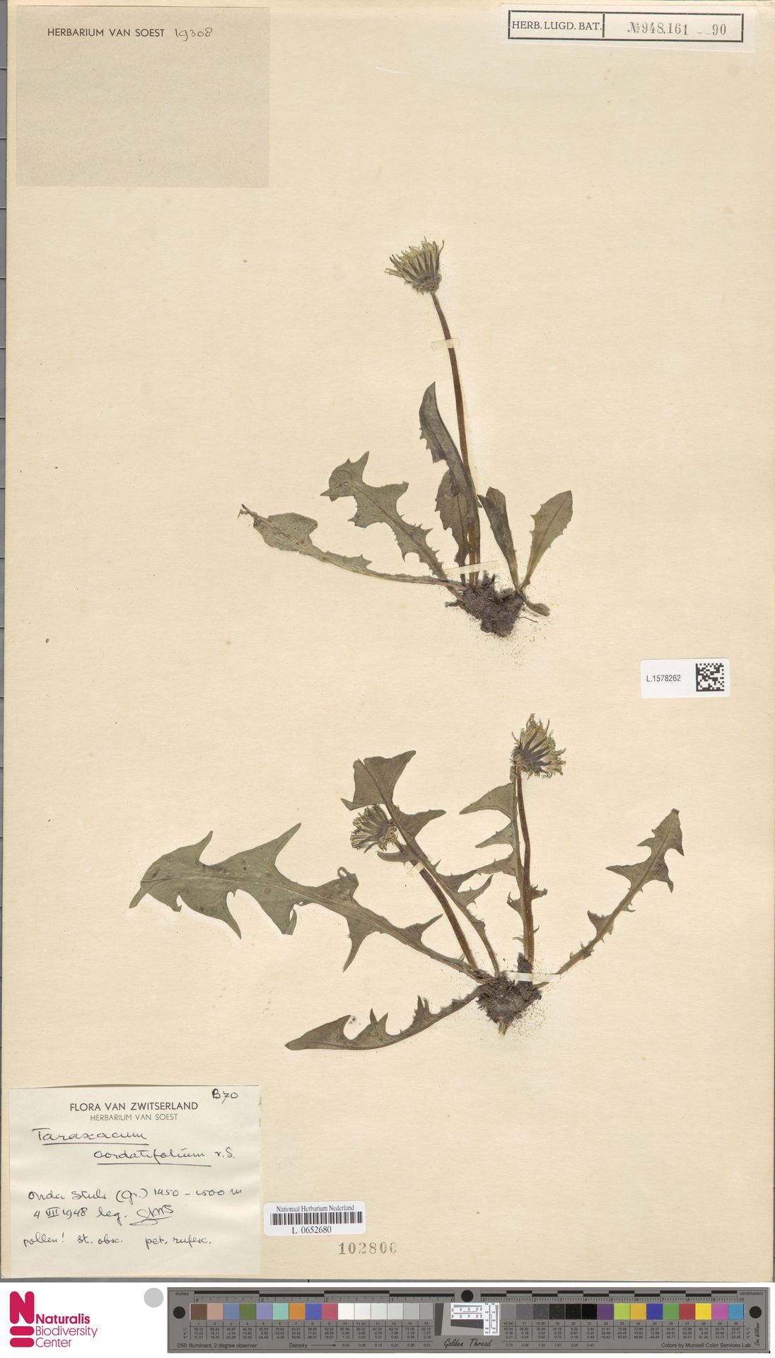 L.1578262 | Taraxacum cordatifolium Soest