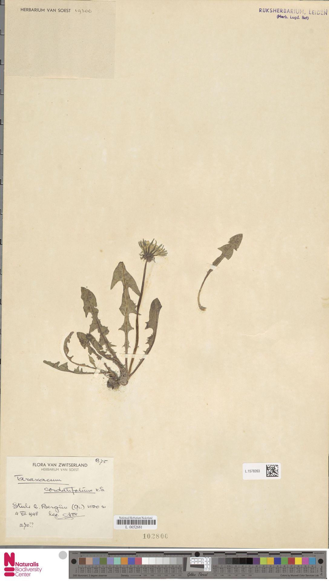 L.1578263   Taraxacum cordatifolium Soest