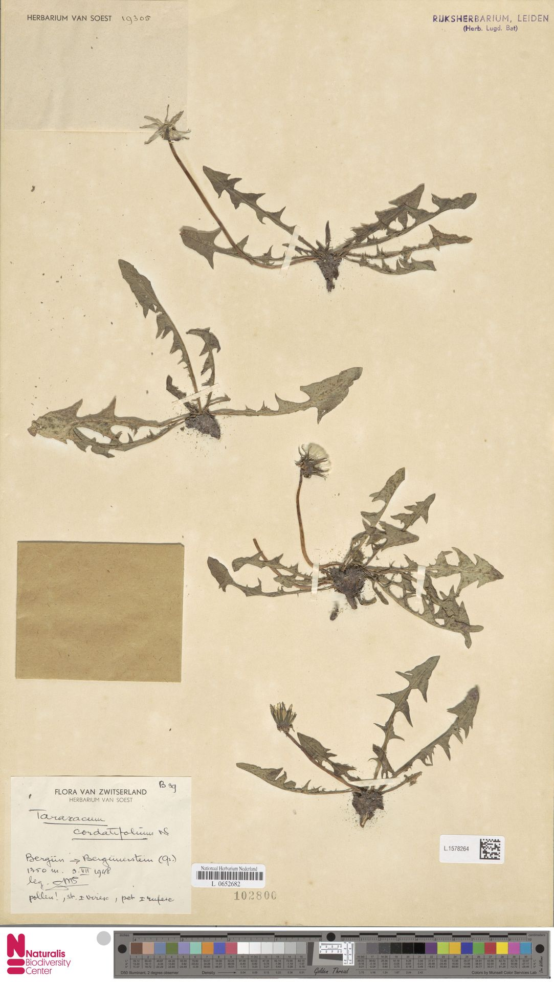 L.1578264   Taraxacum cordatifolium Soest