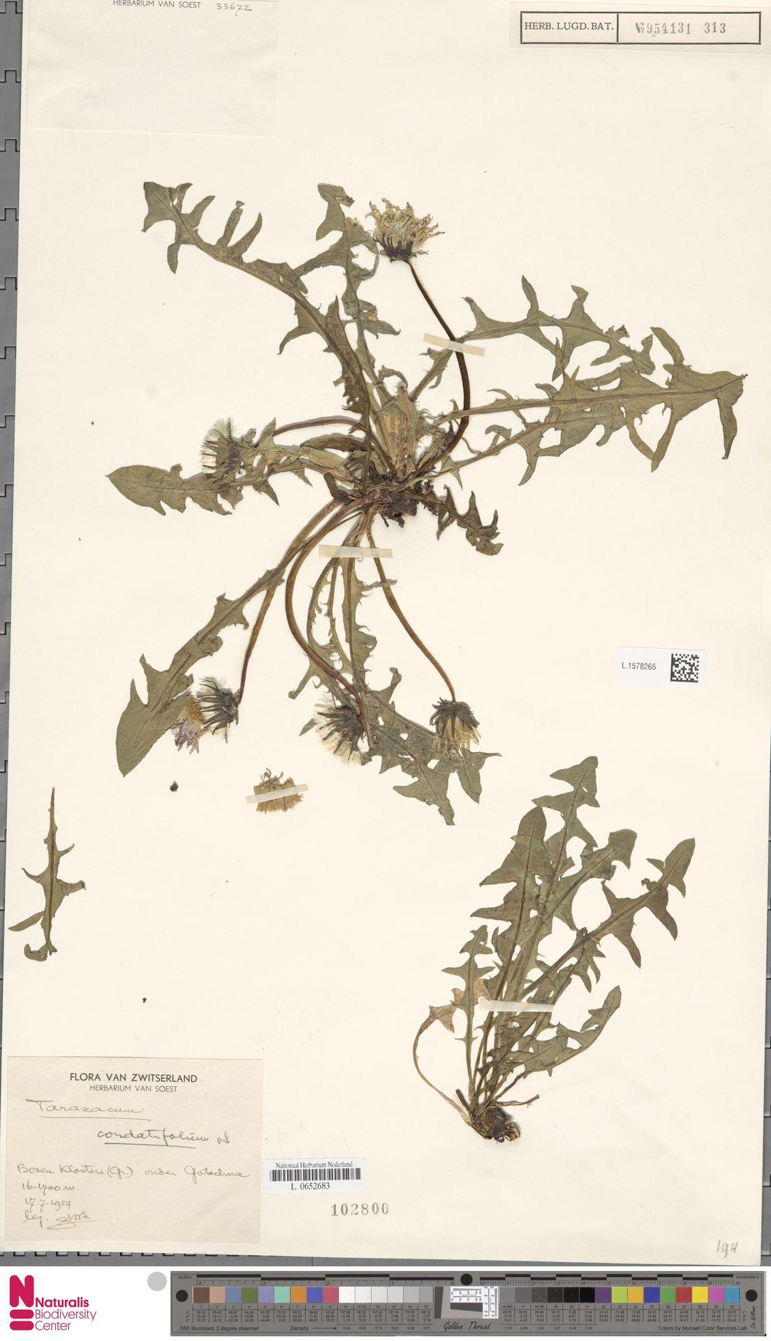 L.1578265 | Taraxacum cordatifolium Soest