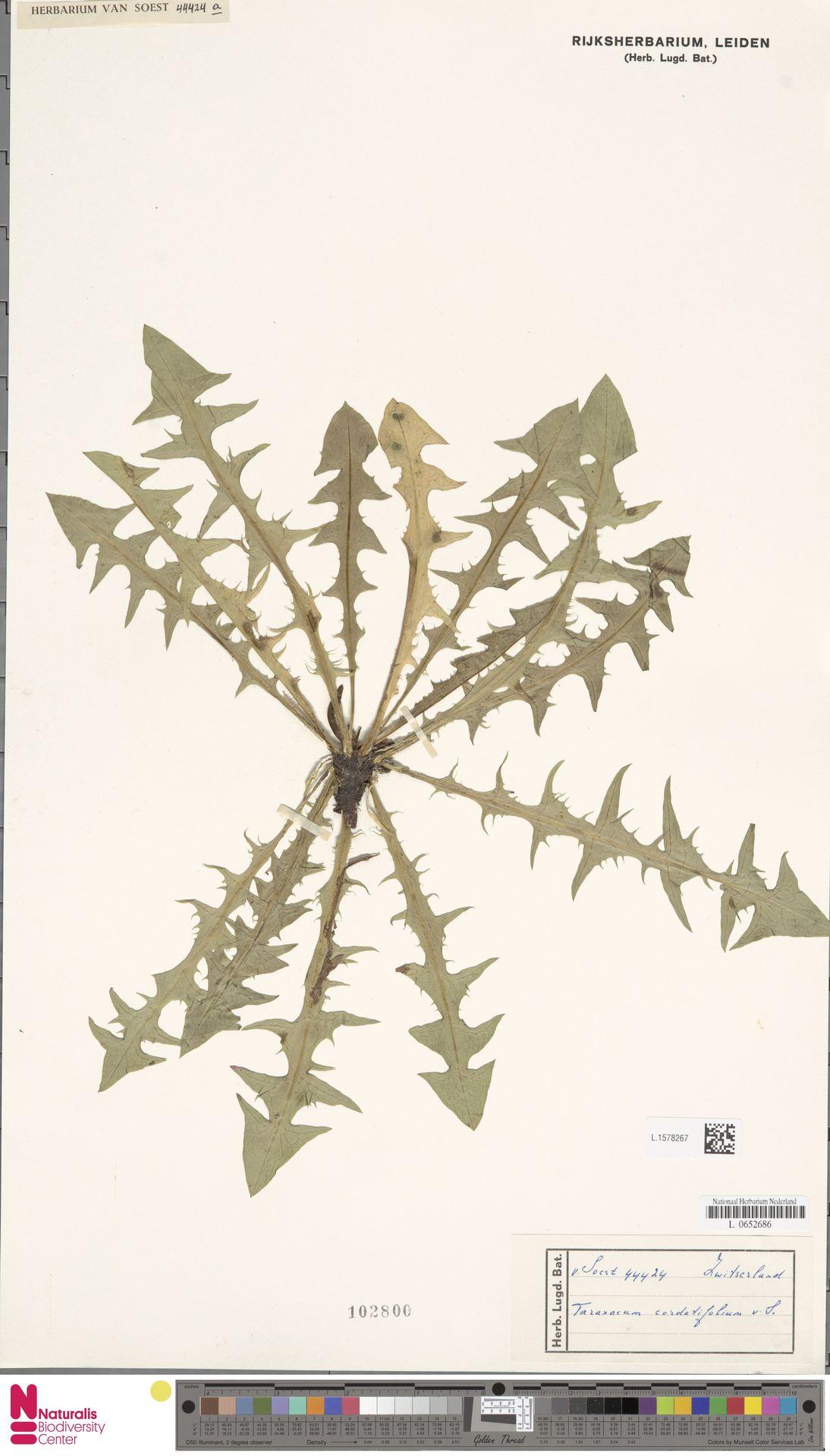 L.1578267   Taraxacum cordatifolium Soest