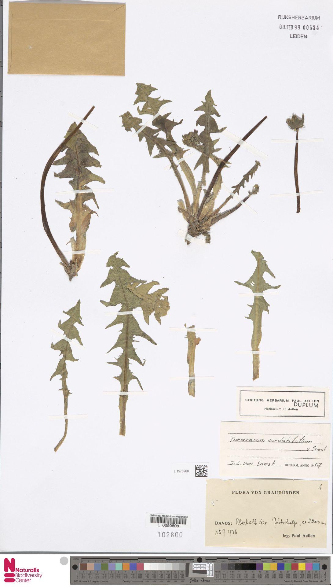 L.1578268 | Taraxacum cordatifolium Soest