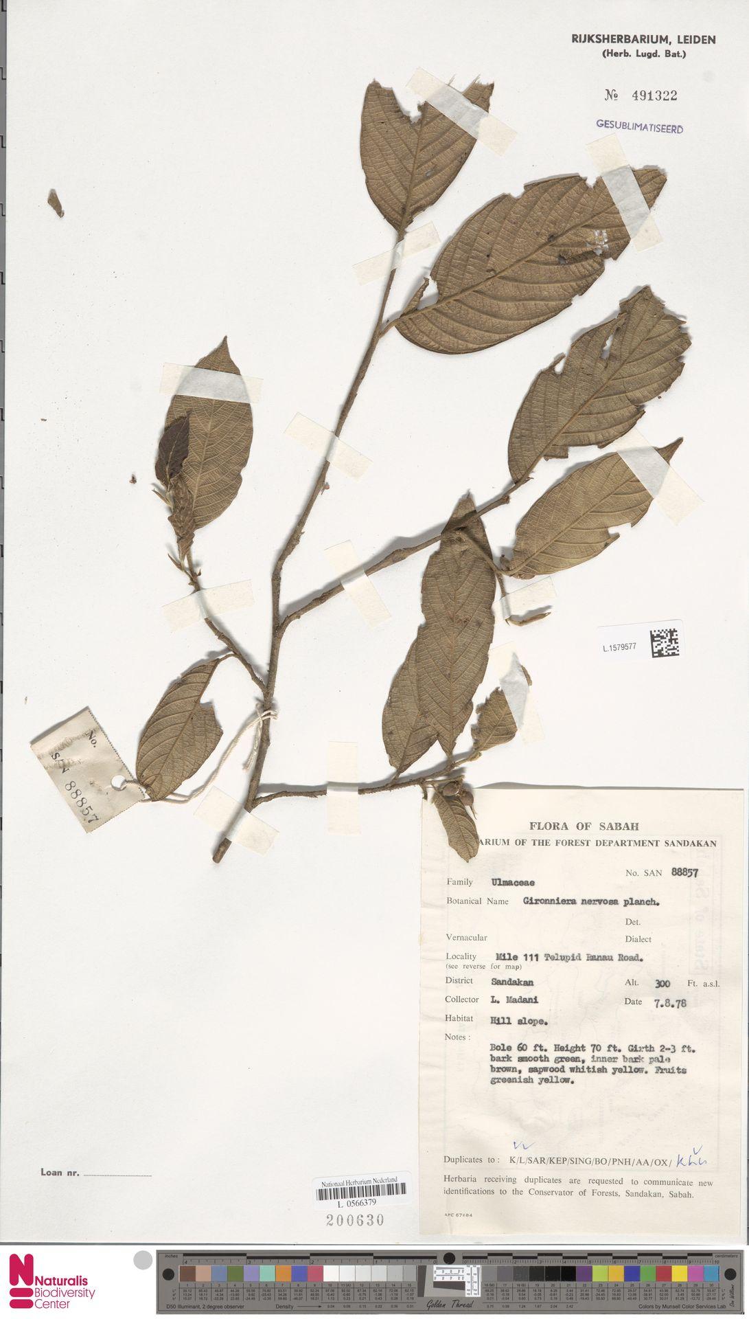 L.1579577 | Gironniera nervosa Planch.
