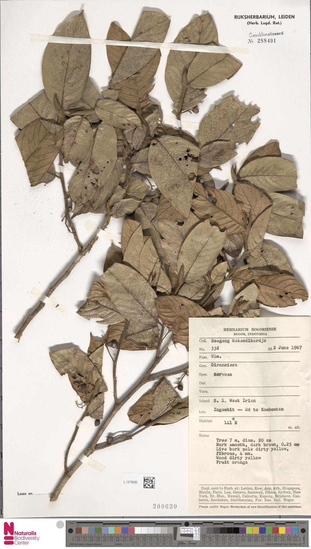 L.1579592 | Gironniera nervosa Planch.