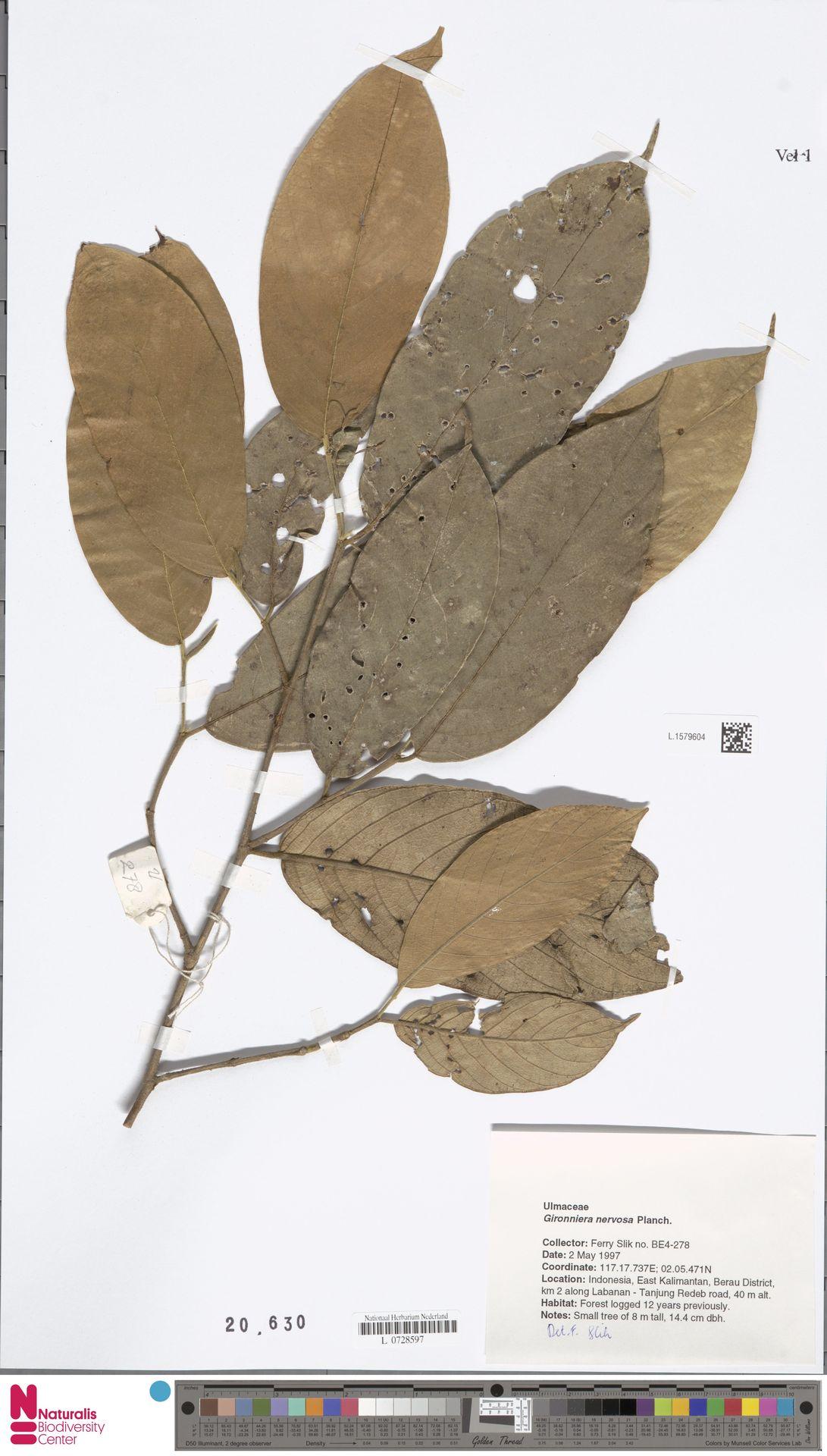 L.1579604 | Gironniera nervosa Planch.