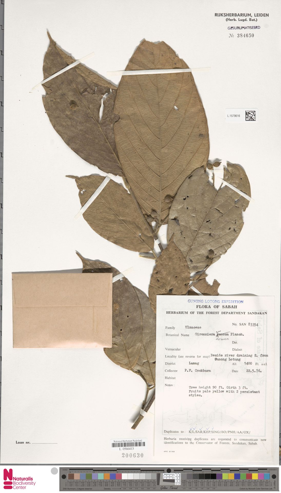 L.1579616 | Gironniera nervosa Planch.