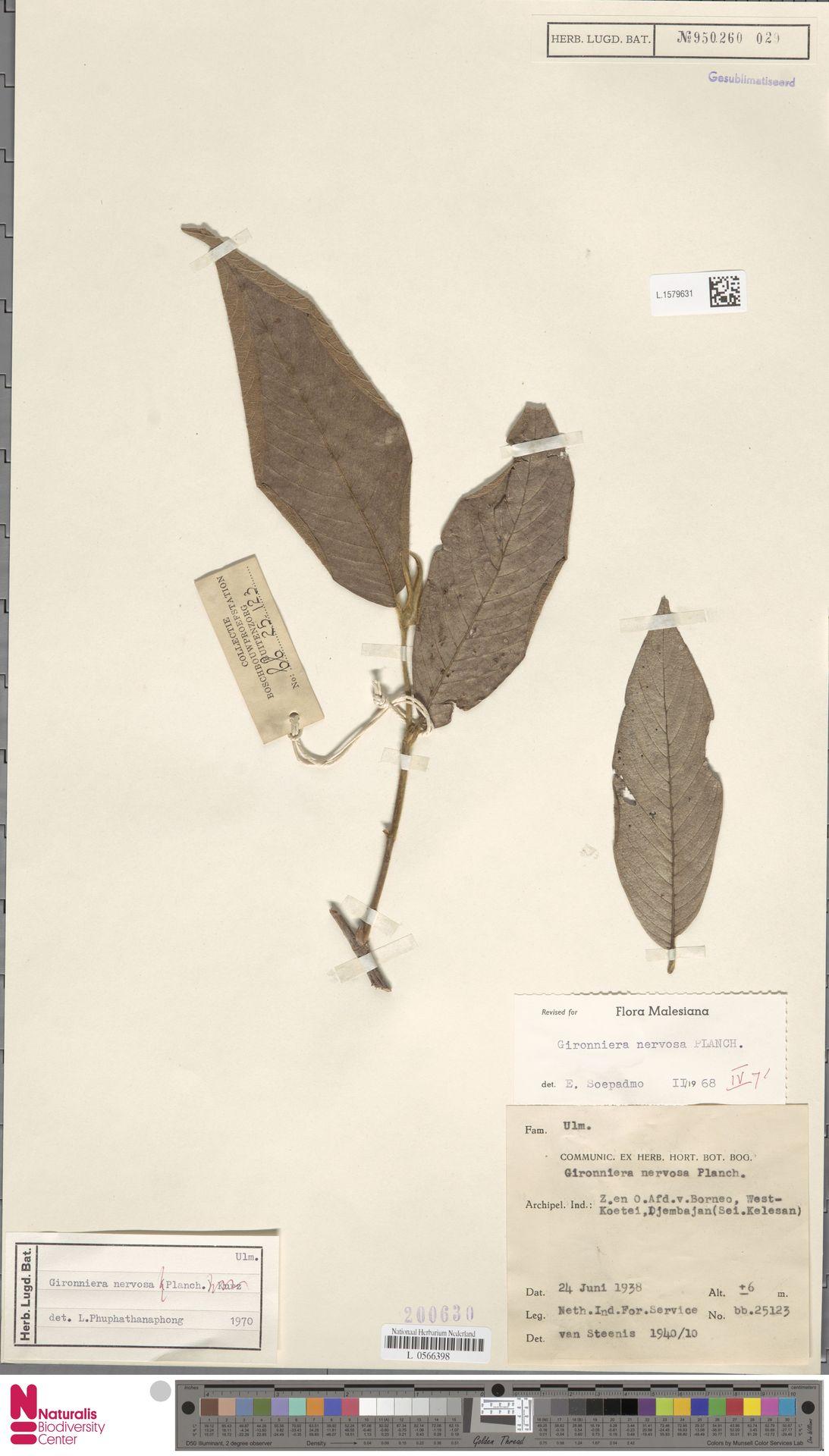 L.1579631 | Gironniera nervosa Planch.