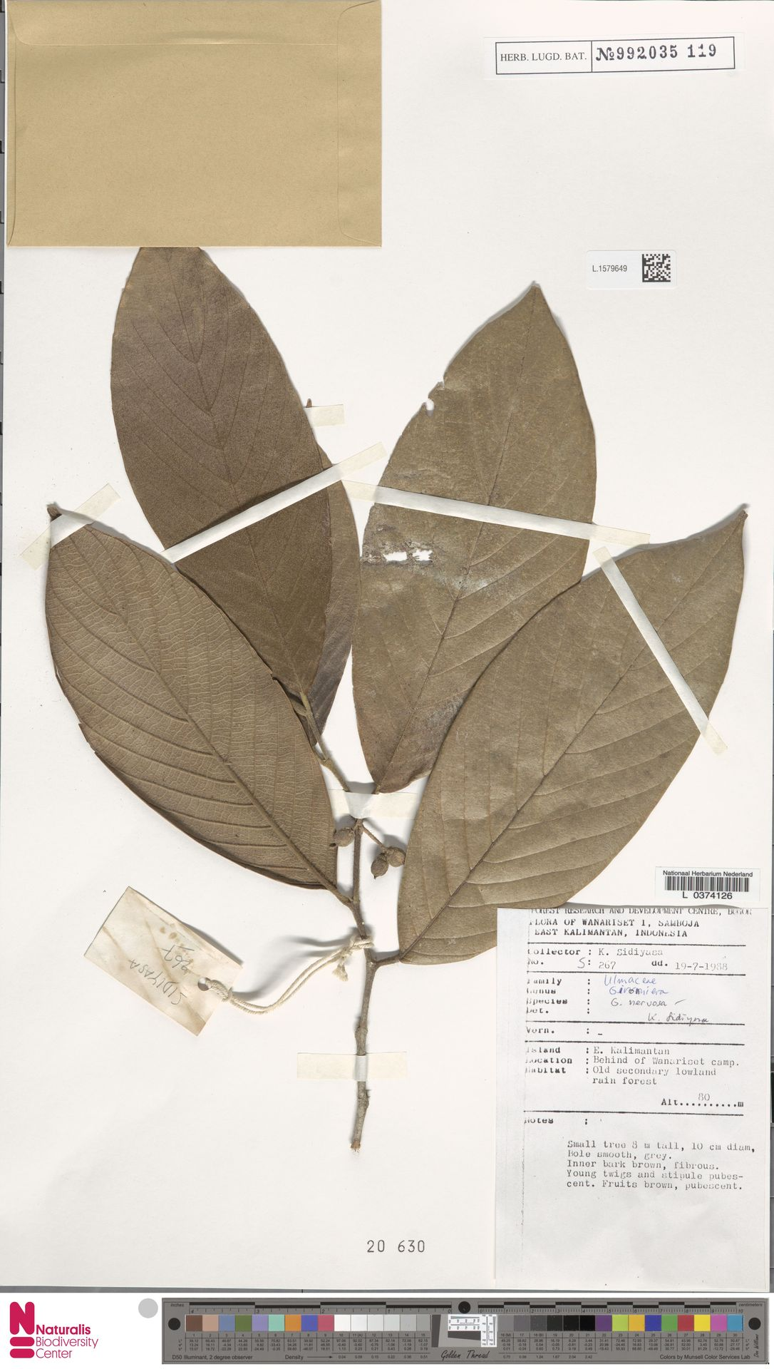 L.1579649 | Gironniera nervosa Planch.