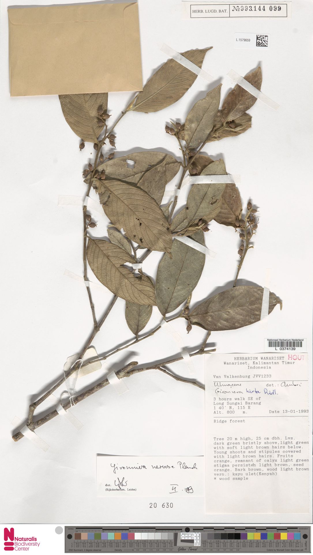 L.1579659 | Gironniera nervosa Planch.