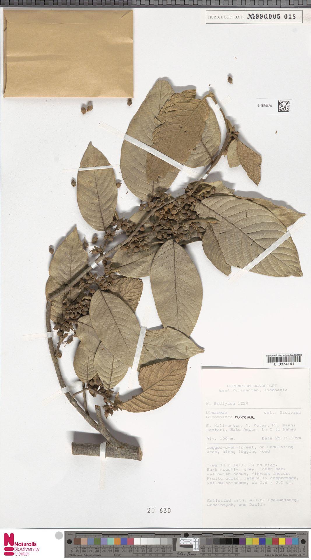 L.1579660 | Gironniera nervosa Planch.